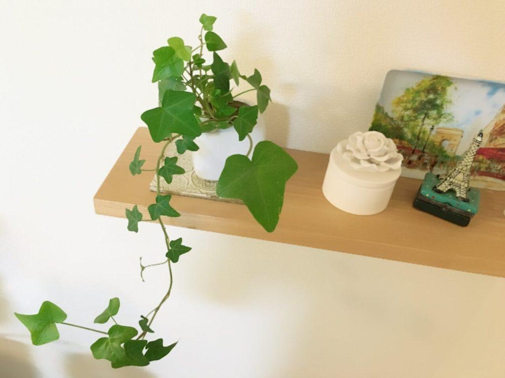 アイビーはツル性の観葉植物