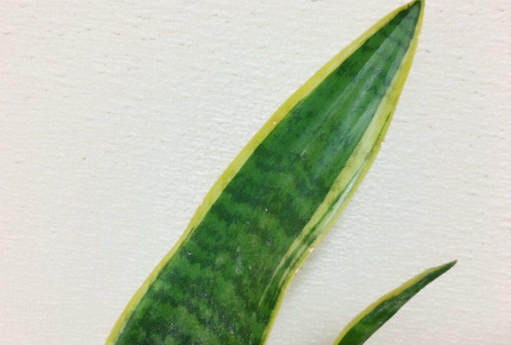 サンスベリアの葉は肉厚
