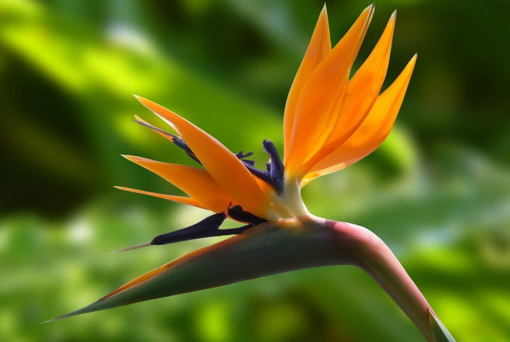 ストレリチアの花は極楽鳥花