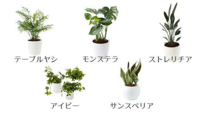 室内で育てやすい観葉植物おすすめ