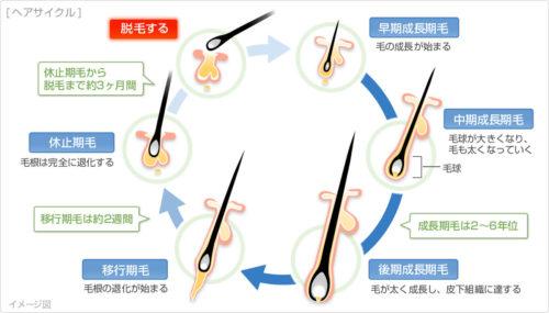 薄毛(脱毛症)の原因とメカニズム